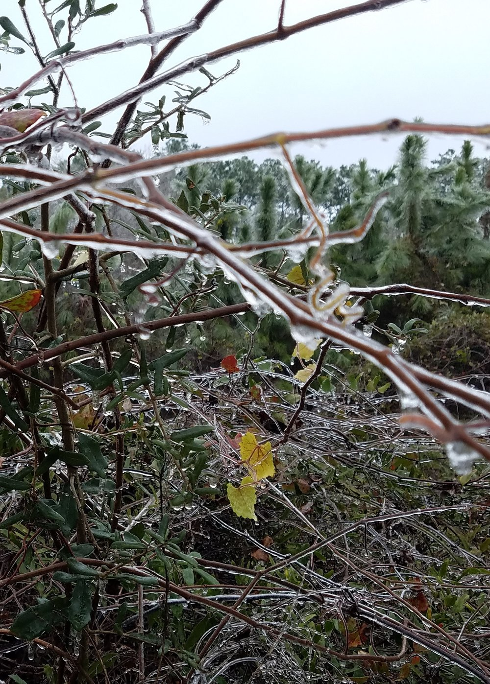 Ice on the branches.