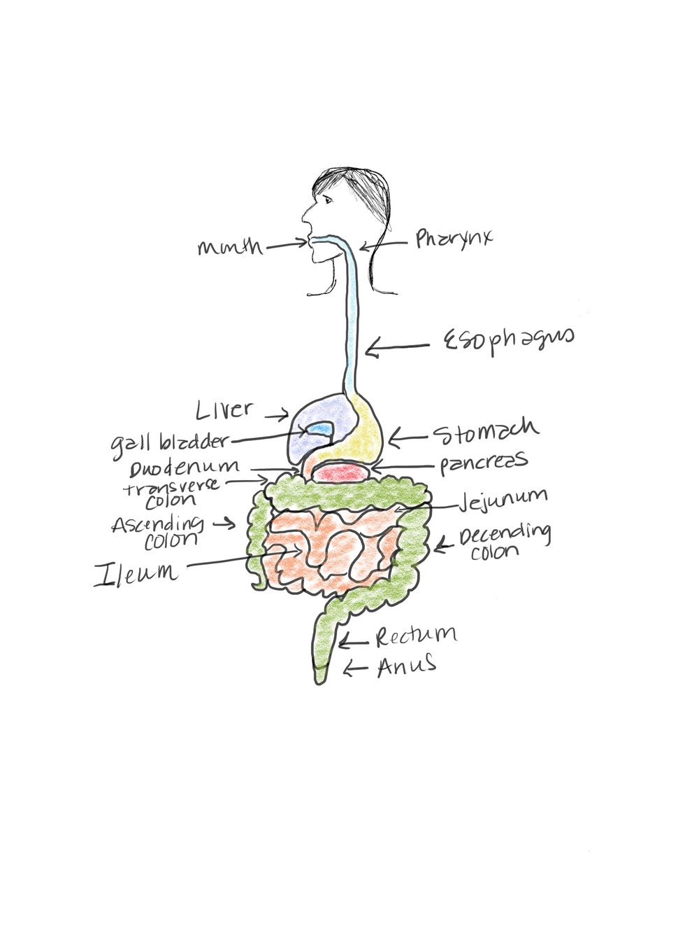 Digestive System Drawing - Balancing Bites Nutrition.JPG
