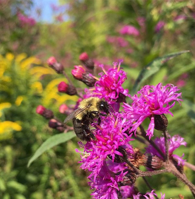 Ironweed and goldenrods in peak bloom at @garden.of.ideas  Perfect late summer morning for a garden stroll. . . #ctnativeplants #solidago #goldenrod #ironweed #vernonia #botany #bee #summerflowers #meadowflowers #naturalgarden