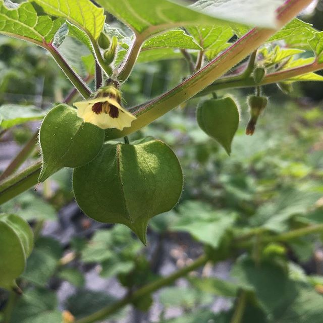 The ground cherries are finally taking off...Can't wait for them to ripen! #groundcherryobsessed #organicgarden #physalis #groundcherries #heirloomseeds #auntmolly #backyardgarden #growyourown