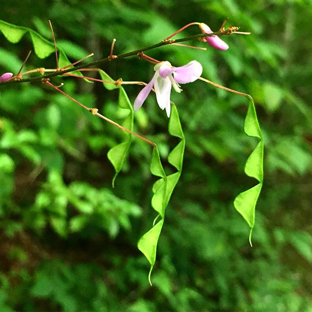 The free-spirited nature of Hylodesmum nudiflorum continues long after it blooms. Borne on airy leafless racemes, the delicate pink flowers eventually give way to these unusual jointed seed pods. Whimsical in spirit, this native species is also a hardy woodland perennial. Swipe left to see flowers. #ctnativeplants #woodlandwalk #reddingct #hylodesmum #seedpods #fabaceae