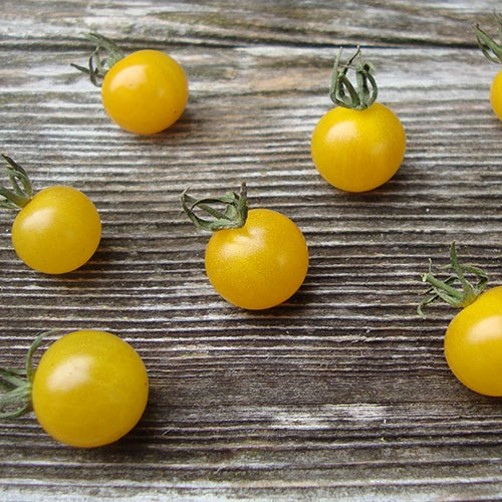 'Lemon Drop' is super prolific, producing tons of delicious, cheerful cherry tomatoes.