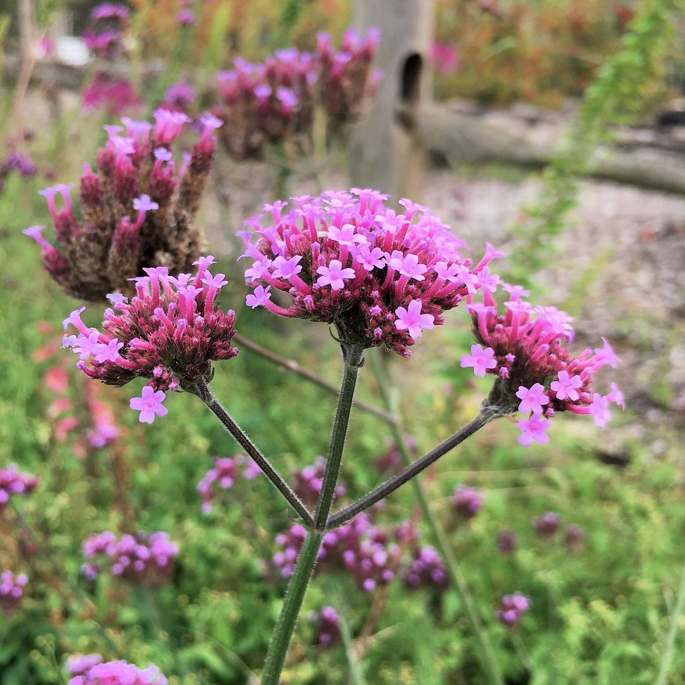 The vibrant lavender flowers of  Verbena bonariensis  are a welcome sight in the vegetable garden.