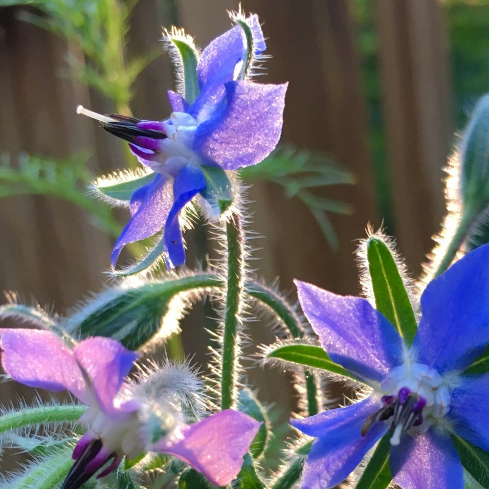 Borage flowers showing blue, pink, and purple hues in the evening sun.