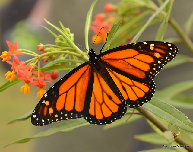 A Monarch Butterfly enjoys some Milkweed at the Festival. Photo by volunteer Caroline Gilmore.