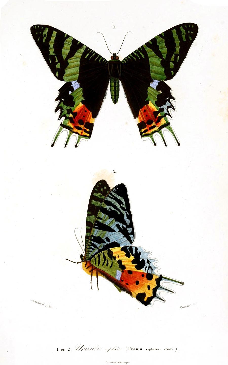 Charles D. d'Orbigny illusztrációja a tündérlepkéről a Dictionnaire universel d'histoire naturelle-ben, 1849-ből