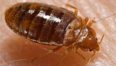 BED BUGS -