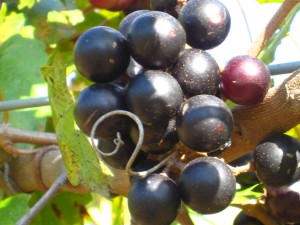 Muscadine Grapes on vine at Wills Creek Winery, Duck Springs, Alabama