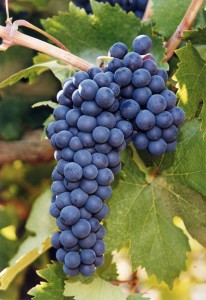 Zinfandel grapes courtesy LoCA Wine Club