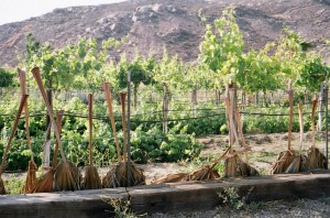 grape vines and palms in Mexico, courtesy queen esoterica