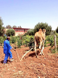 Camel plowing at Ouled Thaleb