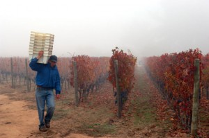 Harvesting Carmenère, courtesy Wines of Chile