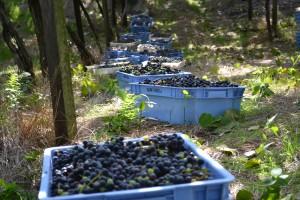 Harvesting at Garibaldi