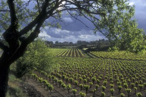 vineyard in the Languedoc-Roussillon