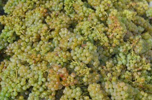 Riesling grapes, photo by Stefano Lubia