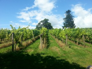Sharpham_vineyard03