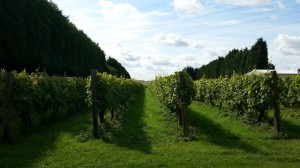 Eglantine Vineyard