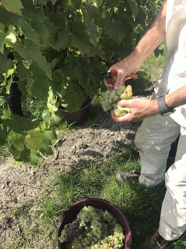 Cognac-harvest-grapes-768x1024.jpg