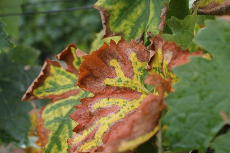 mold on vine leaf