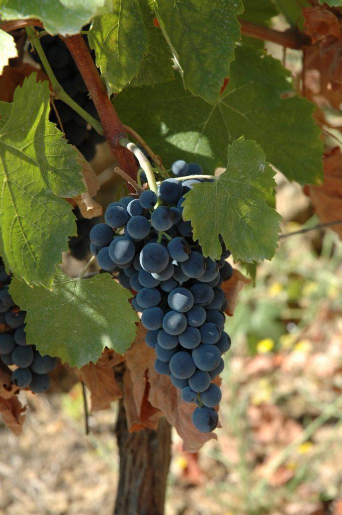 It's all in the clone: Emilio Moro's tinto fino, courtesy of the vineyard