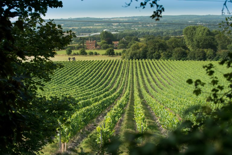 one of Chapel Down wine's vineyards in Kent, courtesy Chapel Down