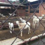 goats-150x150.jpg