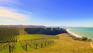 A vineyard by the ocean – does the salty air affect the flavor of the grapes?