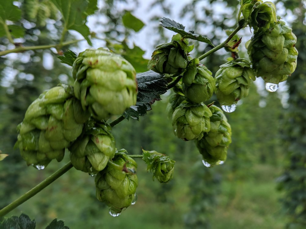 Hops at Hop Head Farms