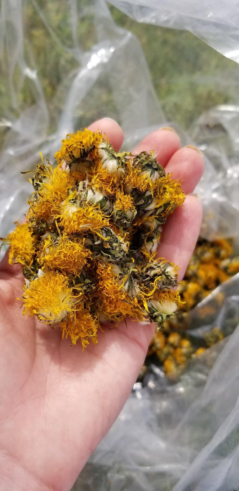 dried dandelions for biodynamic preparations, photo by Kelly Magyarics