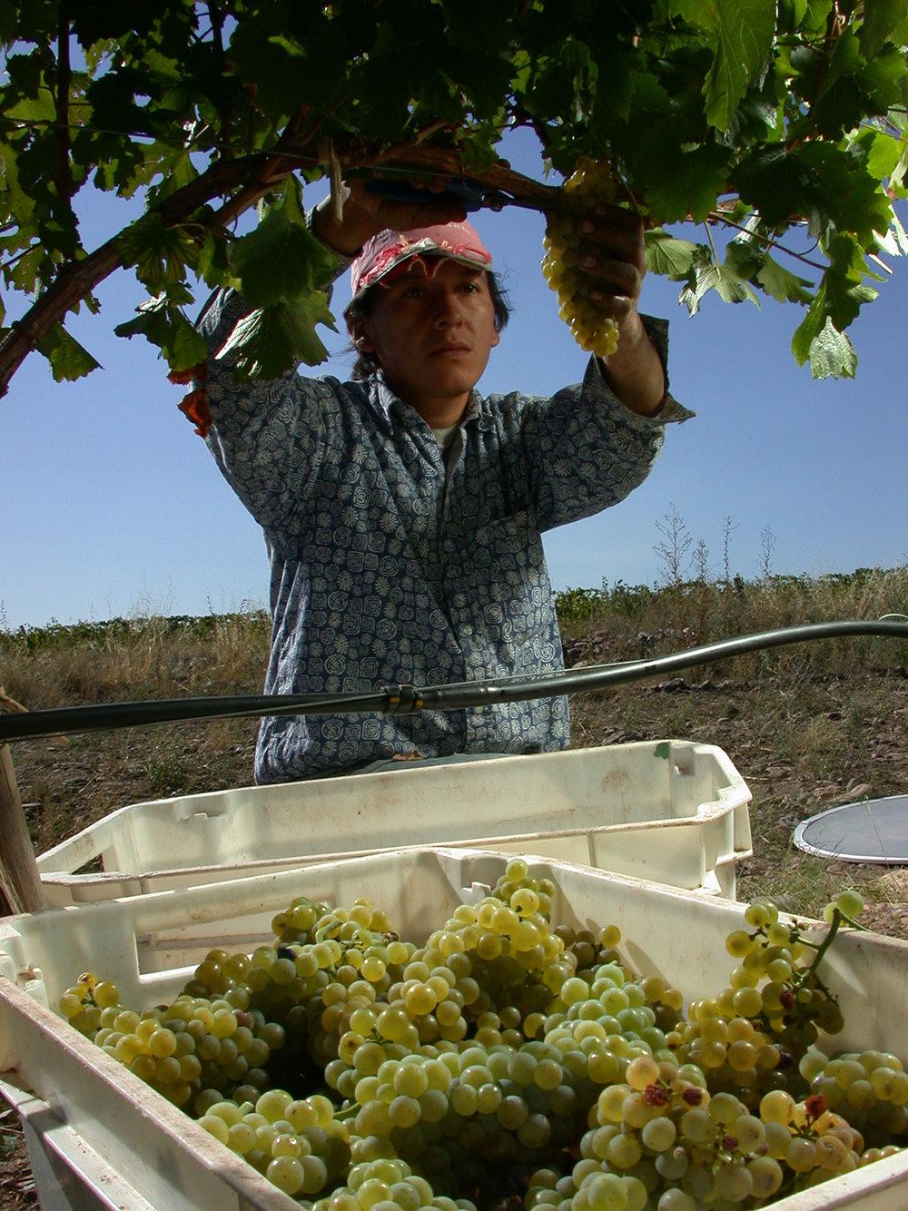 Cafayate Salta torrontés harvest, courtesy Alta Vista