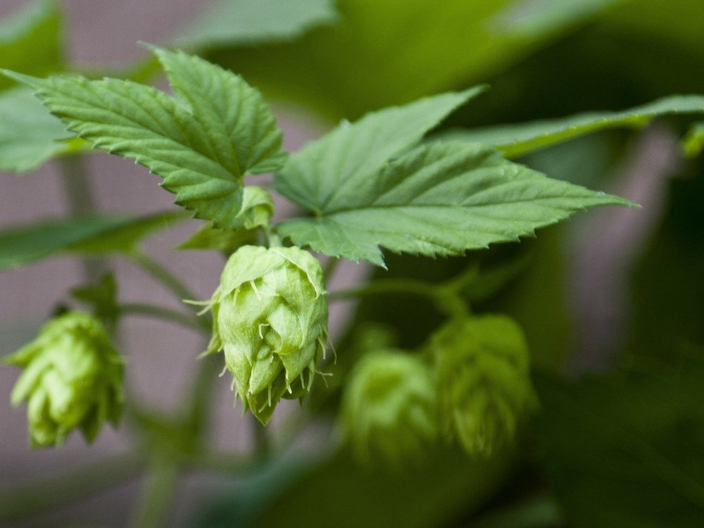hops-173590_1920.jpg