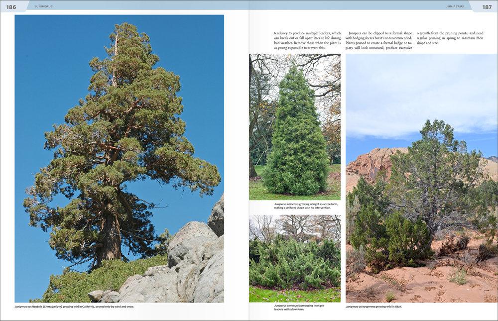 Kirkham_spreads_Juniperus.jpg