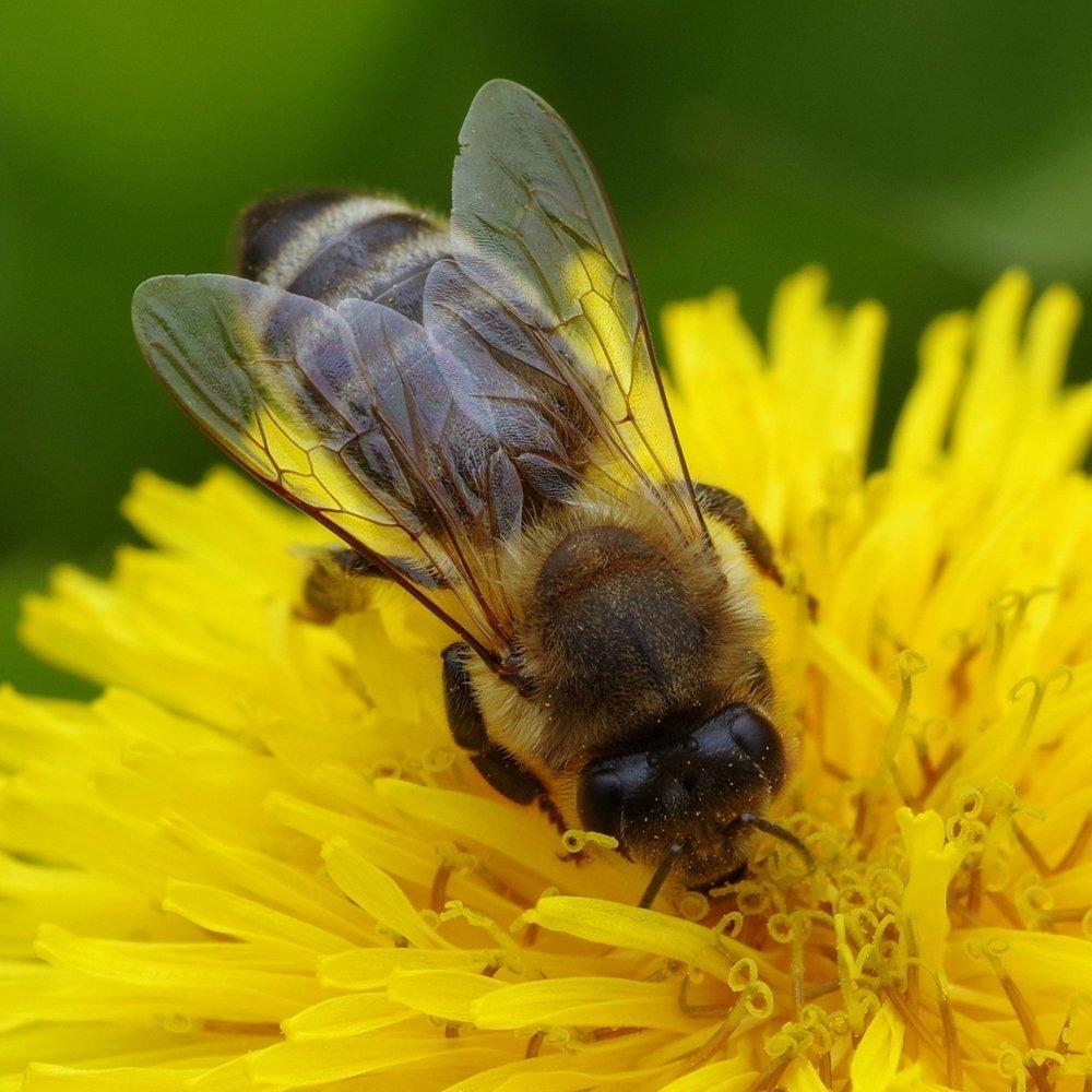 Bee1.jpeg