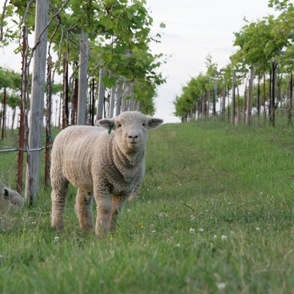 Jowler Creek Winery  uses  sustainable, green and eco-friendly practices  to make its  award-winning wine , including using sheep to graze in its certified sustainable vineyard.  Jowler Creek  offers winetasting and wine events featuring their  sustainable wines  in its  tasting room near Weston Missouri, Kansas City Missouri and St. Joseph Missouri .