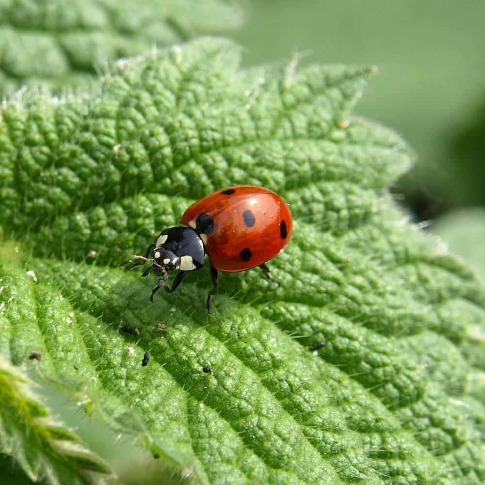 ladybug-macro-lucky-charm-insect-55827.jpeg
