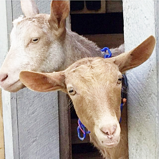 Guernsey Goatsjpg