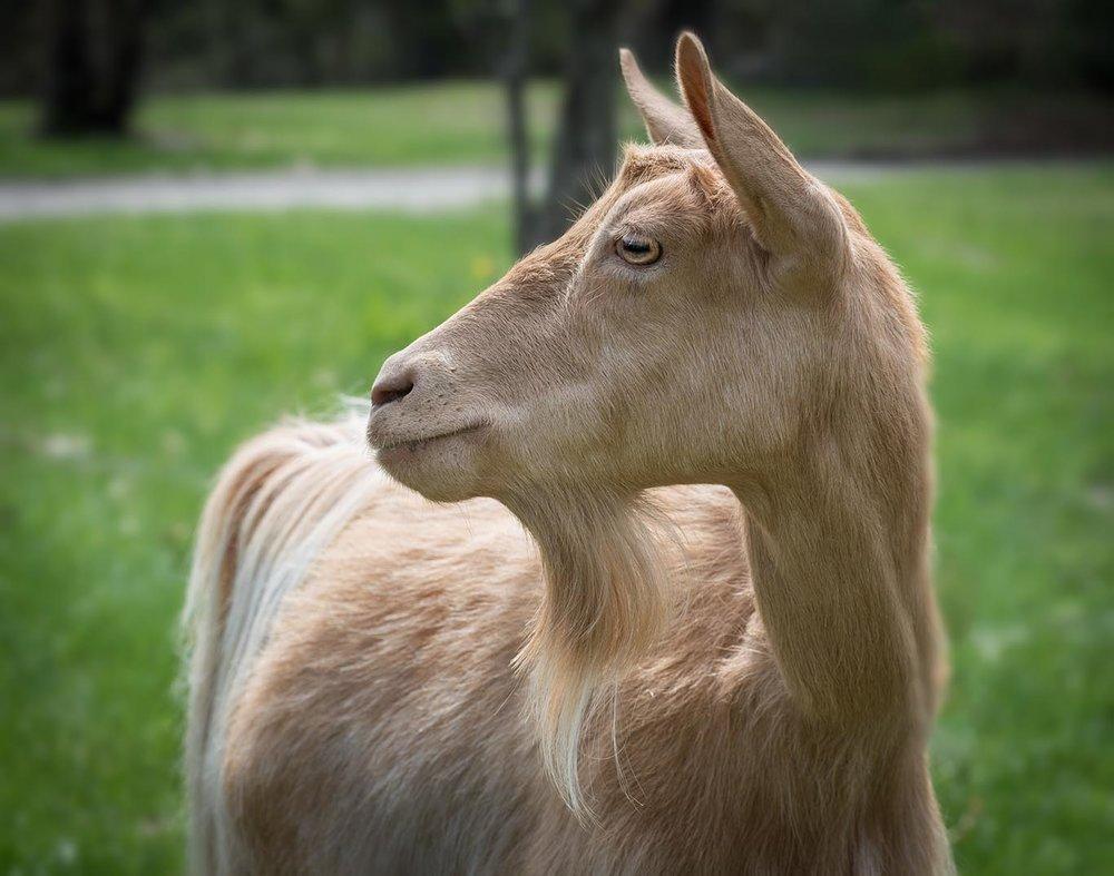 Guernsey Goats, Verandas Sugar HB2