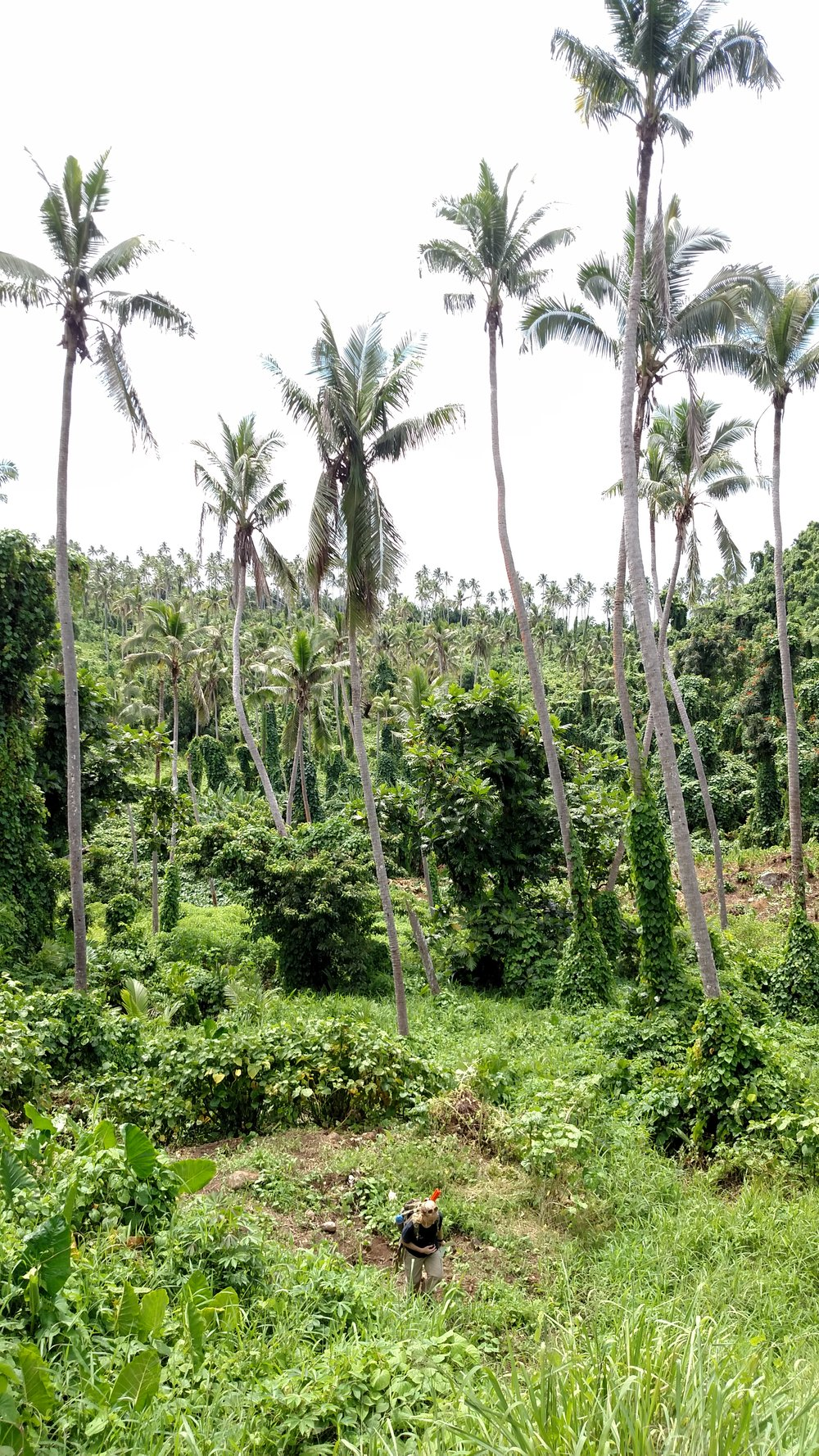 Agroforest in Taveuni after cyclone Winston