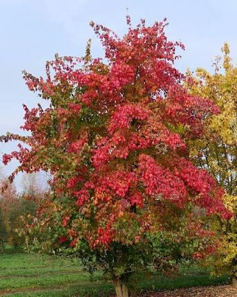 Acer buergeranium