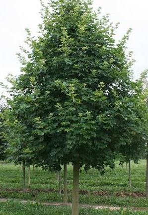 Acer truncatum x A. Platanoides 'Warrenred'