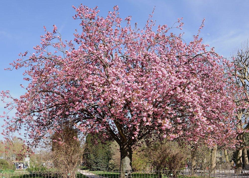 Prunus sekiyama 'Kanzan'