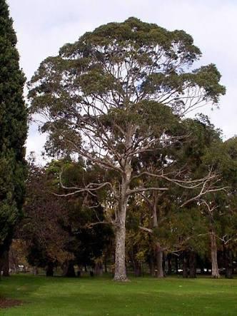 Corymbia maculata