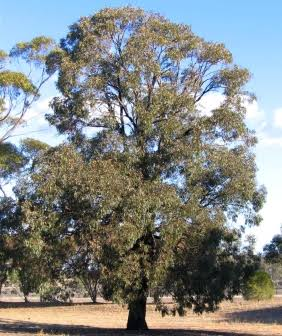 Eucalyptus sideroxlyon 'Rosea'