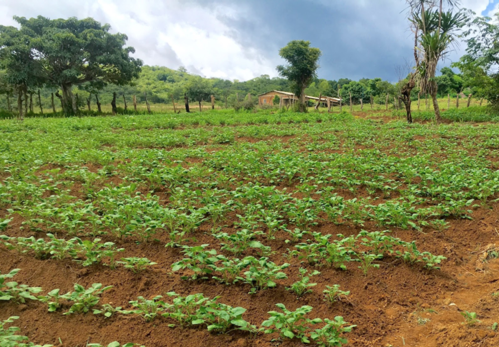 Newly designed agricultural fields in Saran, Guinea
