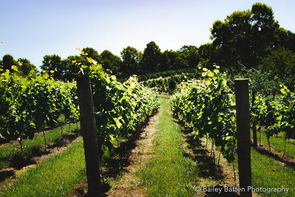 Lush Summer Vineyard
