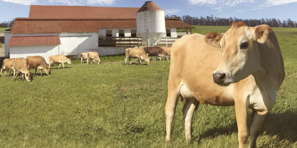 Jersey Cow_barn.jpg