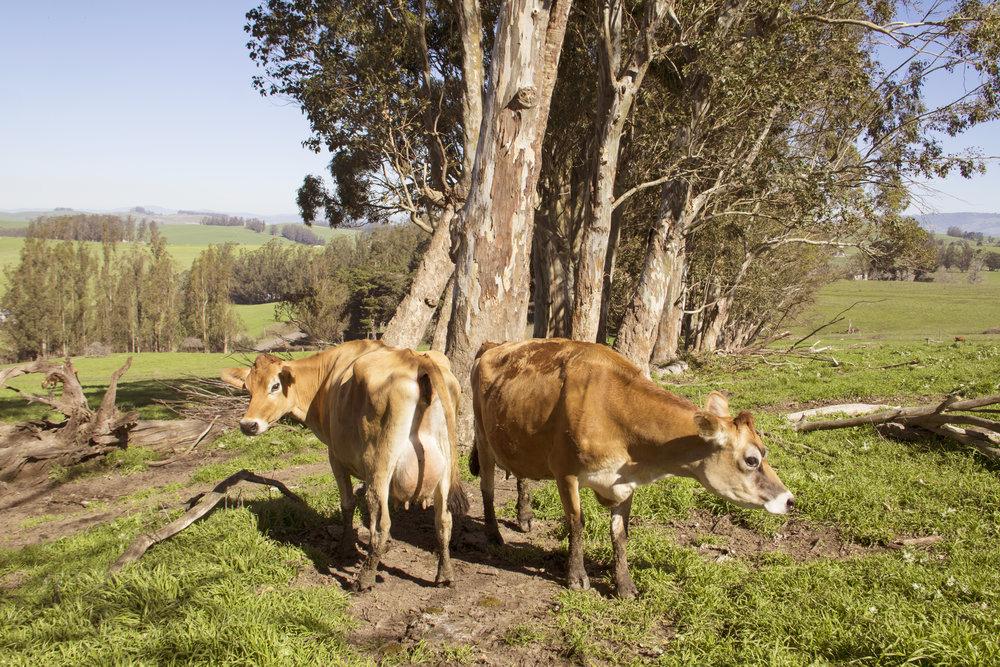 FarmingPageTwoHeifers.jpg