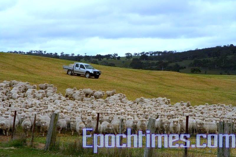 彼得開著車將羊群趕往另一處草地。
