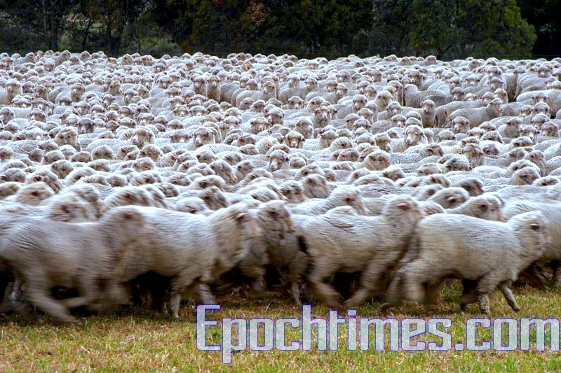 成百上千頭羊的奔跑起來,還真有千軍萬馬的壯觀!