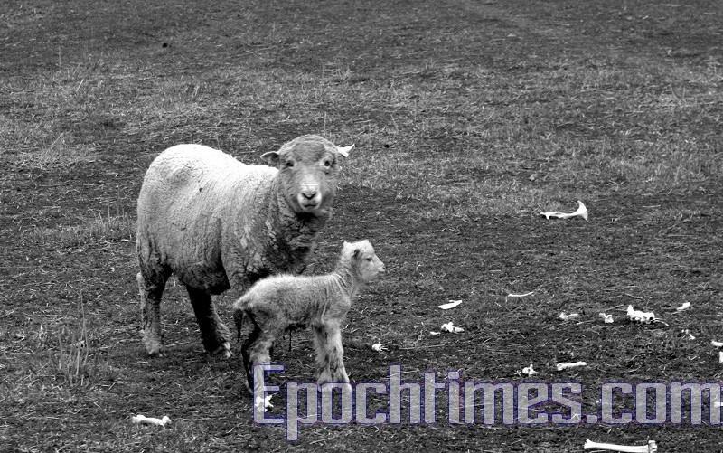 一隻剛出身一天的小羊羔和它的媽媽